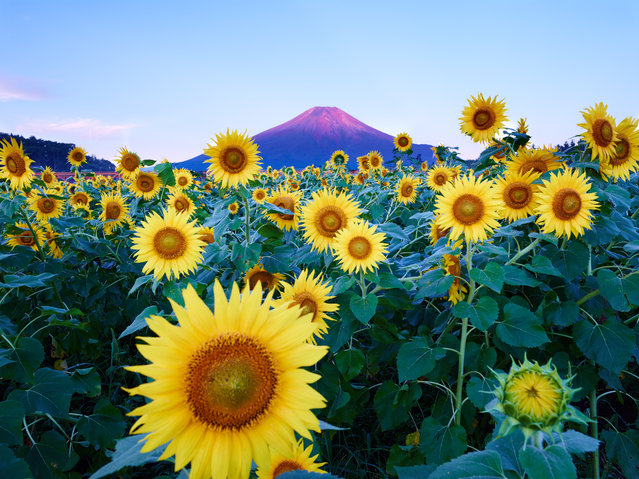 """Mt. Fuji with Sunflower"". Dawn of the day of summer. At the foot of Mt. Fuji, the sunflower is in all glory. It seems that a sunflower celebrates the sun of summer. Photo location: Kawaguchi-ko, Yamanashi, Japan. (Photo and caption by 立志 湯浅/National Geographic Photo Contest)"