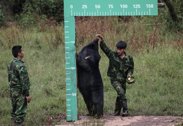 A staff member measures the height of a black bear at a national forest park in Puer, Yunnan province November 16, 2014. The park for the first time measured the height and weight of six kinds of animals, including the black bear, red panda, slow loris, white-cheeked gibbon and egret, for data collection purposes. (Photo by Wong Campion/Reuters)