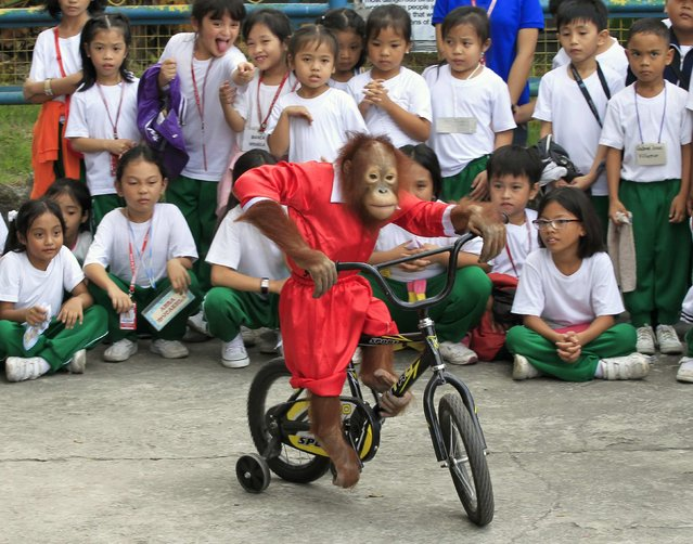 Students watch Orange, a 5-year-old orangutan, wearing a Santa Claus costume, pedalling a bicycle during a Yuletide season presentation inside a crocodile farm in Pasay city, metro Manila November 26, 2014. Filipinos are known for celebrating Christmas the longest by playing yuletide songs on local radio stations. (Photo by Romeo Ranoco/Reuters)