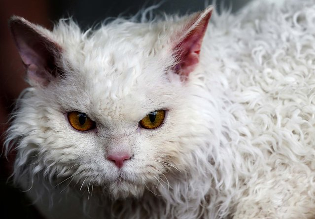 A Selkirk Rex cat is one of more than 400 breeds of cats being presented at the World Cat Federation two-day show in Dortmund, Germany, on April 21, 2013. (Photo by Frank Augstein/Associated Press)