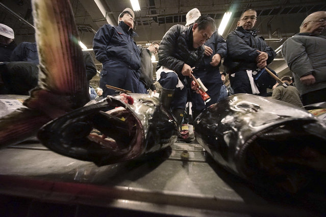 Prospective buyers inspect the quality of fresh tuna before the first auction of the year at Tsukiji fish market in Tokyo, Monday, January 5, 2015. (Photo by Eugene Hoshiko/AP Photo)