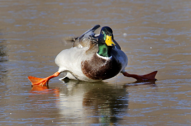 In this photo taken on Monday, January 5, 2015, a mallard duck attempts to walk on a frozen pond in Yukon, Okla. (Photo by Steve Gooch/AP Photo/The Oklahoman)