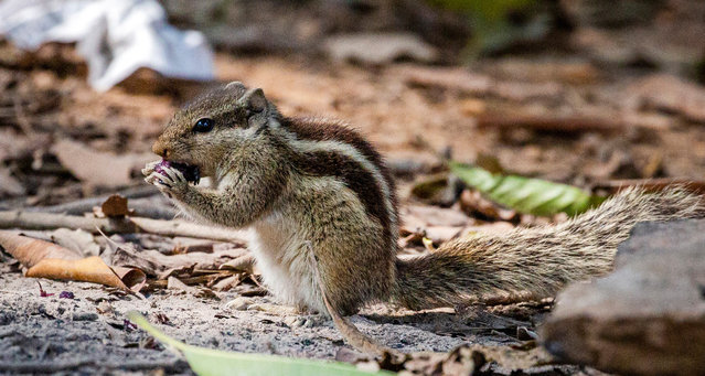 A three- striped squirrel eats on the ground during a winter day in the Rmna Park area in Dhaka, Bangladesh, 04 February 2021. About 279 known species of squirrels and marmots live across the globe. (Photo by Monirul Alam/EPA/EFE)