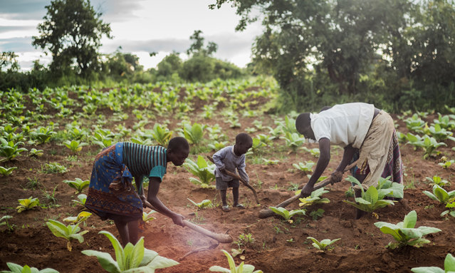 Tiyamike Phiri, an orphaned child labourer, left, at work on a tobacco plot belonging to her brother's family. The 14-year-old says she left school because she had no materials with which to study so she opted to work in the fields. (Photo by David Levene/The Guardian)