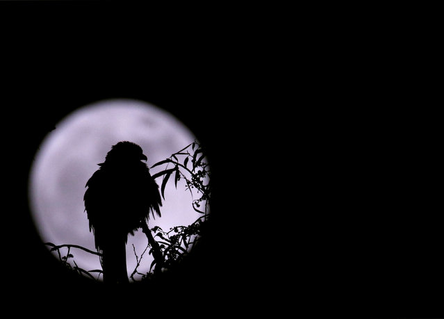 """An eagle is silhouetted against the """"supermoon"""" in Kathmandu, Nepal November 14, 2016. (Photo by Navesh Chitrakar/Reuters)"""