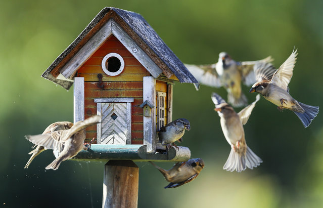 Sparrows fly around a bird feeder in Putgarten, Germany, September 29, 2015. (Photo by Hannibal Hanschke/Reuters)