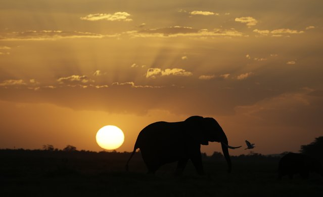 An elephant walks through a swamp during sunset in Amboseli National Park January 26, 2015. (Photo by Goran Tomasevic/Reuters)
