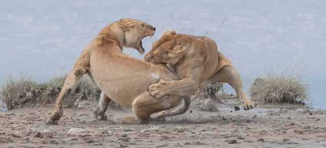 Lions fight, Serengeti, Tanzania. Gold prize in behaviour – mammals. (Photo by Patrick Nowotny/World Nature Photography Awards)
