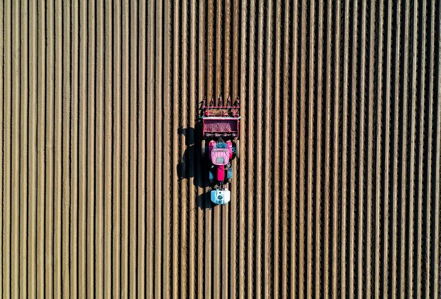 A farmer drives a tractor in his field while planting potatoes in Tilloy-lez-Cambrai, near Cambrai, France, April 18, 2021. Picture taken with a drone. (Photo by Pascal Rossignol/Reuters)