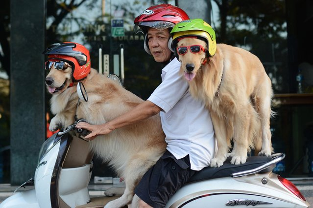 The real hairy bikers: Handoko ride his scooter with his dogs Ace and Armani in East Java, Indonesia, on September 27, 2013. (Photo by Caters News)
