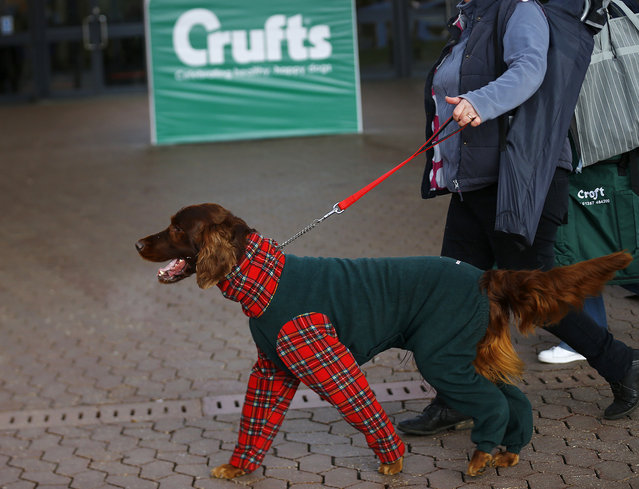 A dog arrives for the first day of the Crufts Dog Show in Birmingham, central England, March 5, 2015. (REUTERS/Darren Staples)