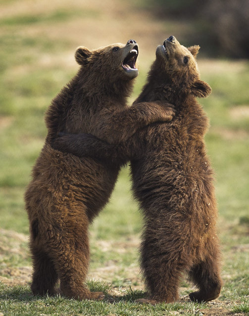 Brown bear Oska (L) and Roni (R) play in a bear sanctuary near the village of Mramor, Kosovo, 18 March 2015. The Bear Sanctuary Pristina has currently 16 brown bears in custody rescued from the private restaurants around Kosovo. All privately kept brown bears lived in small cages at restaurants. They were born mostly in the forests of Kosovo or Albania and snatched from their mothers by animal dealers. (Photo by Valdrin Xhemaj/EPA)