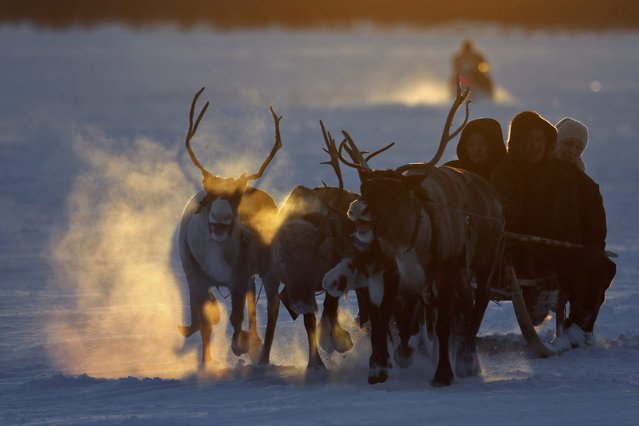 In this photo taken on Saturday, March 14, 2015, Nenets people ride in a reindeer sleigh during the Reindeer Herder's Day holiday in the city of Nadym, in Yamal-Nenets Region, 2500 kilometers (about 1553 miles) northeast of Moscow, Russia. (Photo by Dmitry Lovetsky/AP Photo)