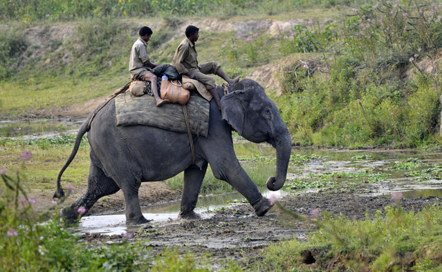 A Mahout takes a forrest guard to a remote camp to take part in the rhino census in Kaziranga National Park in Assam state, India, March 24, 2015. Kaziranga will be closed to visitors for the next two days for a census of the rhinos commencing 25 March, in a previous census in 2013 in the park the population of the Indian rhinos was 2329. (Photo by EPA/Stringer)