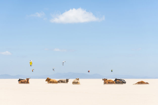 """Cows And Kites"". I was driving along the beach highway when i noticed the bulls sunbathing on the empty beach. I initially thought i was seeing things,but no it really was sunbathing cows!! I had to park my car a fair distance away and that meant a long walk along the beach in 35 degree heat. Photo location: Tarifa Beach, Andalucia, Spain. (Photo and caption by Andrew Lever/National Geographic Photo Contest)"