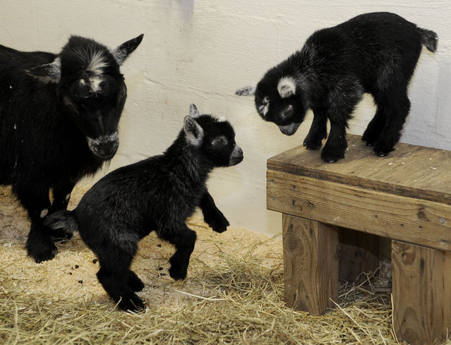This March 14, 2015 handout photo shows twin African pygmy goat kids at the Maryland Zoo in Baltimore. The twins, born at the zoo March 10, made their public debut Thursday. The zoo says the babies have been behind closed doors for the last three weeks bonding with their mother. (Photo by Jeffrey F. Bill/AP Photo/The Maryland Zoo)