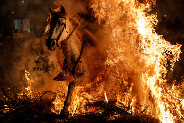 A man rides a horse through flames during the annual Luminarias celebration on the eve of Saint Anthony's day, Spain's patron saint of animals, in the village of San Bartolome de Pinares, northwest of Madrid, Spain, January 16, 2018. (Photo by Juan Medina/Reuters)