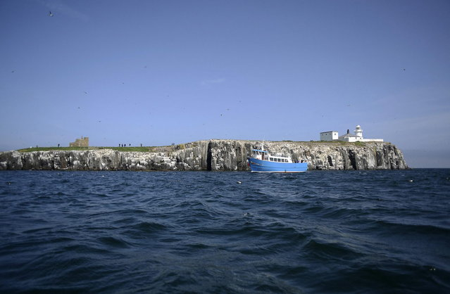 Seabirds sit on a cliff edge on the Inner Farne, which is part of the Farne Islands, off the Northumberland coast, northern England July 19, 2013. (Photo by Nigel Roddis/Reuters)