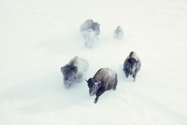 In honor of our 125th anniversary, we're sharing National Geographic photographs – many never before published – that reveal cultures and moments of the past. In this one, taken in 1967 by the famed photographer William Albert Allard, American bison charge through heavy snow in Yellowstone National Park. Many more treasures are on view for the first time in the curated online collection we call FOUND. (Photo by William Albert Allard/National Geographic)