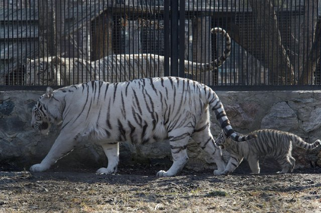 A white Bengal tiger cub follows its mother in a zoo in the Siberian city of Novosibirsk, about 2,800 kilometers (1,750 miles) east of Moscow, Russia, Tuesday, April 21, 2015. (Photo by Ilnar Salakhiev/AP Photo)