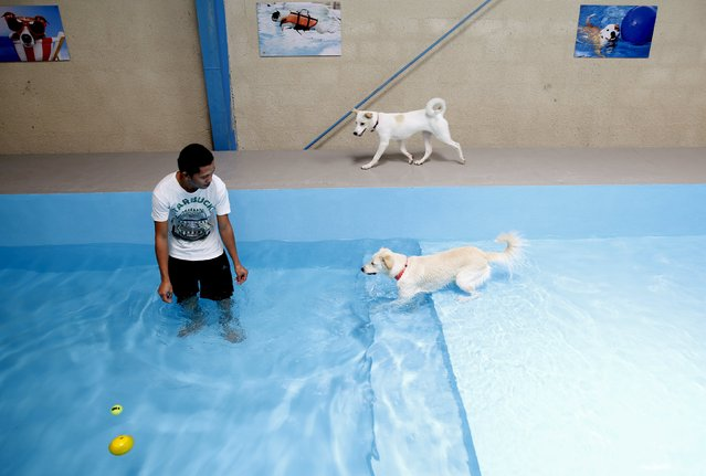 Dogs play at a swimming pool in My Second Home, a newly opened luxury pet resort and spa, in Dubai, April 24, 2015. (Photo by Ahmed Jadallah/Reuters)