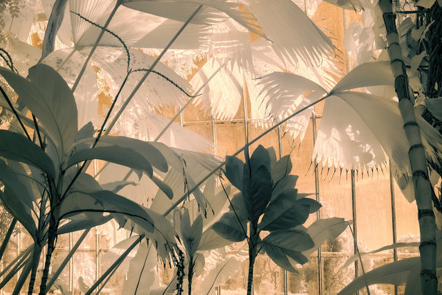 """First place, Portfolios, Abstract Views. """"The magical, dreamlike effect of infrared was the perfect way to express the mystery and exoticintrigue of the Palm House at Kew Gardens. I captured a selection of different plants and foliage tofeature across the portfolio in order to show the subtle variety of textures and forms within thistropical paradise. Together, the images vividly demonstrate the sense of lushness and tranquillitythat the space provides"""". (Photo by Jocelyn Horsfall/The Guardian)"""