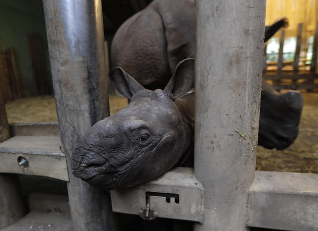 A newly born baby Indian rhino sticks its head out of the enclosure at the zoo in Plzen, Czech Republic, Friday, February 24, 2017. (Photo by Petr David Josek/AP Photo)