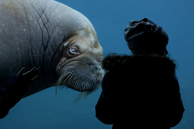 A visitor looks at a walrus (Odobenus rosmarus) on March 6, 2017 in a zoo Hamburg. (Photo by Axel Heimken/AFP Photo/DPA)