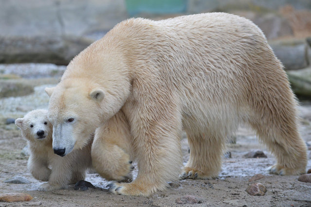 """Polar bear baby """"Lily"""" walks next to her mother """"Valeska"""" during her first trip to the outside enclosure at the """"Zoo am Meer"""" (Zoo at the seaside) in Bremerhaven, northwestern Germany, on April 5, 2016. Lili was born on December 11, 2015 at the zoo. (Photo by Carmen Jaspersen/AFP Photo/DPA)"""