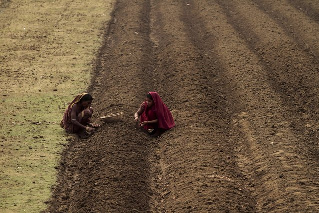 Indian villagers plant onion seeds on a field in Bhubaneswar, India, Tuesday, July 7, 2015. About 60 percent of India's population works in the agriculture sector. (Photo by Biswaranjan Rout/AP Photo)