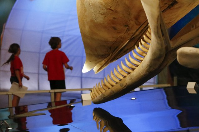 Young visitors walk past of the large jaws of a sperm whale during the 'Whales: Giants of the Deep' exhibition at the Fernbank Museum of Natural History in Atlanta, Georgia, USA, 01 May 2014. The exhibit, presented by the Museum of New Zealand Te Papa Tongarewa, runs through 24 August. (Photo by Erik S. Lesser/EPA)