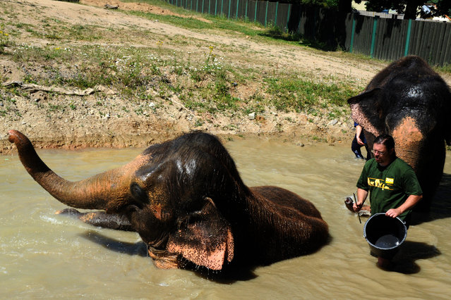 Keepers Petr Kiebel (left) and Pavel Kokert assist to cool elephants Kale and Delhi in the pool, in Usti nad Labem Zoo, Czech Republic, July 7, 2015. (Photo by Libor Zavoral/CTK/ZUMAPress)