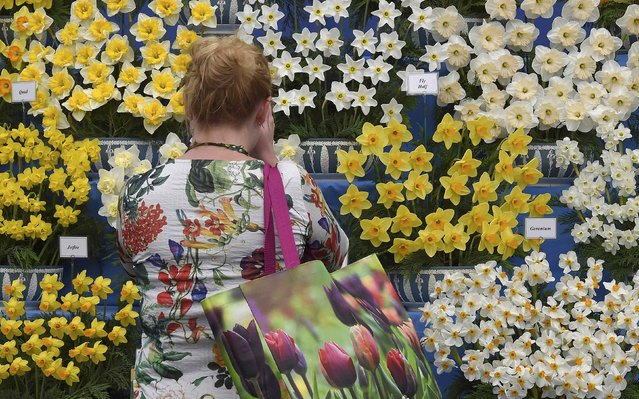 A woman photographs daffodils at the Chelsea Flower Show in London, Britain, May 23, 2016. (Photo by Toby Melville/Reuters)