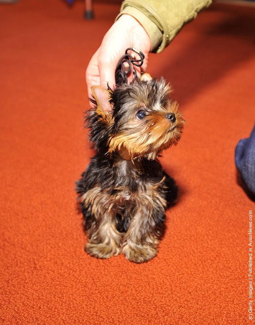 Sierra,  a Yorkshire Terrier puppy attends as American Kennel Club announces Most Popular Dogs in the U.S. at American Kennel Club Offices