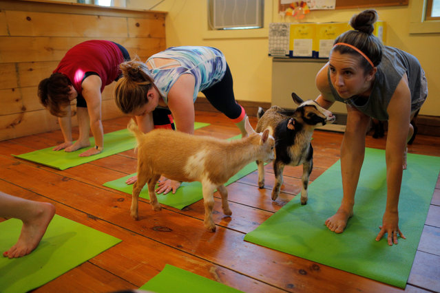 Goats walk around students during a yoga class with eight students and five goats at Jenness Farm in Nottingham, U.S. on May 18, 2017. The farm's website advertises yoga classes with goats for $22 per adult. (Photo by Brian Snyder/Reuters)