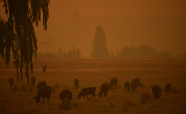 Cattle graze as the sky turns orange from bushfires in Towamba, 20km from Eden in southern New South Wales on January 10, 2020. The fires have claimed at least 26 lives and destroyed more than 2,000 homes across Australia. (Photo by Peter Parks/AFP Photo)