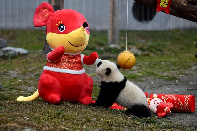 A giant panda cub plays with a stuffed toy mouse during an event to celebrate the Chinese Lunar New Year of Rat, at Shenshuping panda base in Wolong, Sichuan province, China on January 17, 2020. (Photo by Reuters/China Daily)
