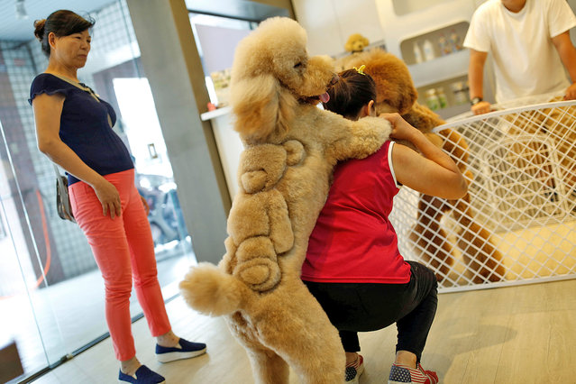 A woman plays with a dog with a teddy bear cut into its fur at a pet shop, in Tainan, Taiwan June 19, 2016. (Photo by Tyrone Siu/Reuters)