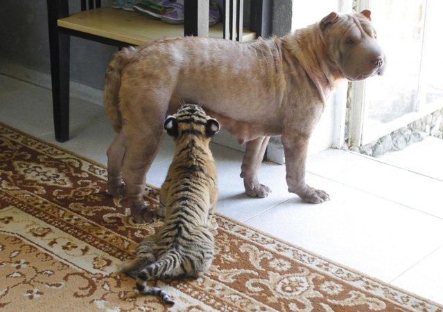 Shar Pei dog Cleopatra feeds Siberian tiger cub Clyopa