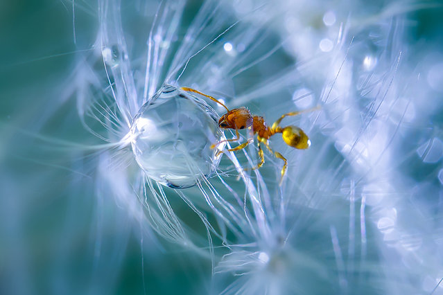 A macro view of an ant caught in a web of spores and a water droplet in Obihiro, Japan. Animal-Lover Miki Asai has gone a step beyond feeding bread to the ducks – by syringe-feeding water to tiny ants. The office worker from Obihiro City, Japan, squirts droplets near the tiny insects and then uses a macro lens to capture quenching their thirst. The amateur photographer started capturing these images near her house in July 2013 after spotting an ant struggling in the rain. (Photo by Miki Asai/Barcroft Media)