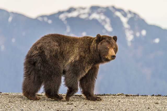 A brown bear walks along the beach, in May 2014, on Admiralty Island, Alaska. Driving in an open-roofed jeep is no longer the fashionable way to see wildlife – as this adventurer shows. (Photo by Daniel Fox/Barcroft Media)