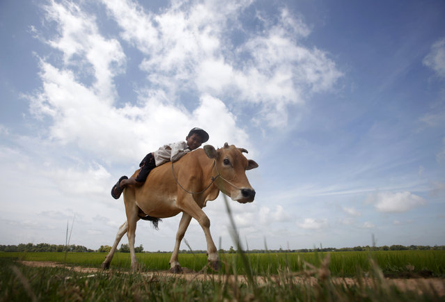 A boy rides his cow on a paddy field as he returns back home in Svay Rieng province September 21, 2014. (Photo by Samrang Pring/Reuters)
