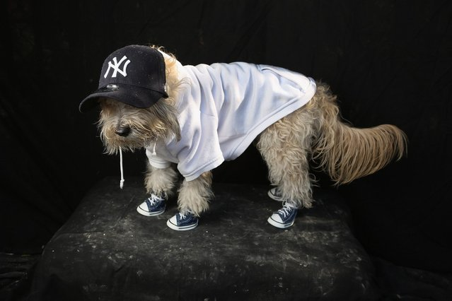 Maltipoo Shaggy poses as a Yankees fan at the Tompkins Square Halloween Dog Parade on October 20, 2012 in New York City