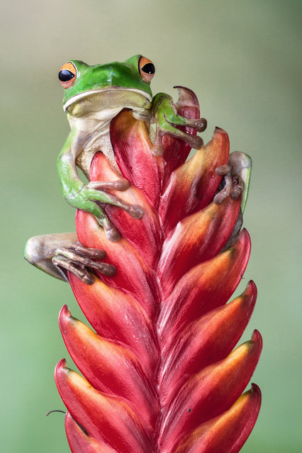 """""""Hello Friends"""". White lips green tree frog behind the red flowers. Photo location: Jakarta. (Photo and caption by Lessy Sebastian/National Geographic Photo Contest)"""