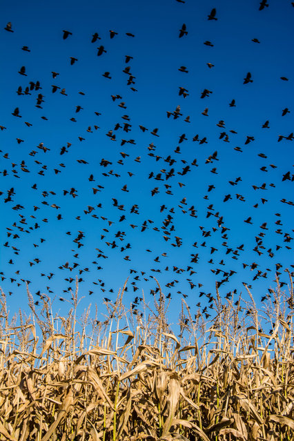 """""""An aMAZEing sight"""". Just as my kids and I were about to make our way through a corn maze a flock of red winged blackbirds took off over the corn field. What a sight! Photo location: Sturgeon Falls, Ontario, Canada. (Photo and caption by Cindy Rossit/National Geographic Photo Contest)"""