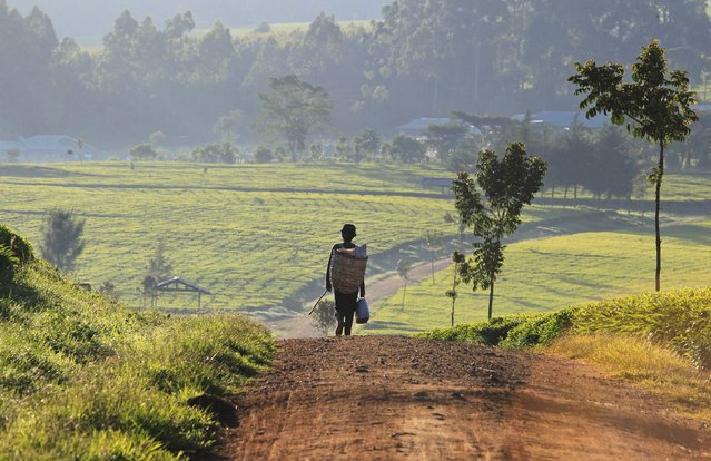 A man walks in the early morning to start his day picking tea leaves at a plantation in Nandi Hills, in Kenya's highlands region west of capital Nairobi, November 5, 2014. Emerald-coloured tea bushes blanketing the rolling hills of Nandi County have long provided a livelihood for small-scale farmers, helping make Kenya one of the world's biggest tea exporters. But ideal weather and bigger harvests, instead of producing bumper earnings, have led to a glut of Kenya's speciality black tea. (Photo by Noor Khamis/Reuters)