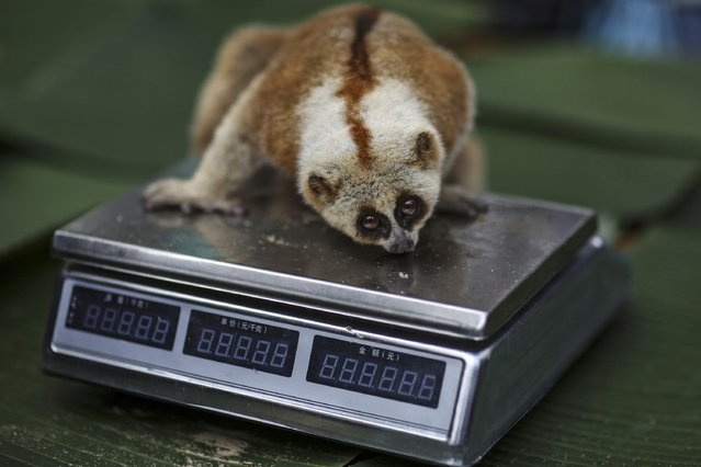 A slow loris sits on a scale as staff measures its weight at a national forest park in Puer, Yunnan province November 16, 2014. (Photo by Wong Campion/Reuters)
