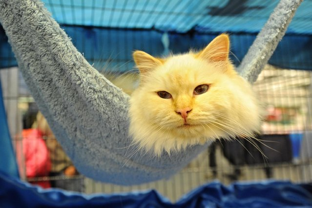 A cat rests in a hammock during the International Cat Exhibition in Florence, Italy, December 7, 2014. (Photo by Maurizio Degl'innocenti/EPA)