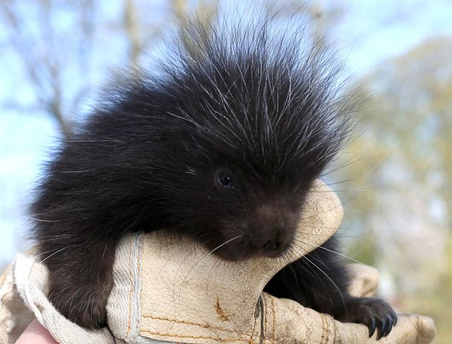 A young porcupine sits in a glove-protected hand in the Magdeburg Zoo in Magdeburg, Germany, on April 23, 2013. This porcupine was born on April 1. (Photo by Jens Wolf/Zuma Press)