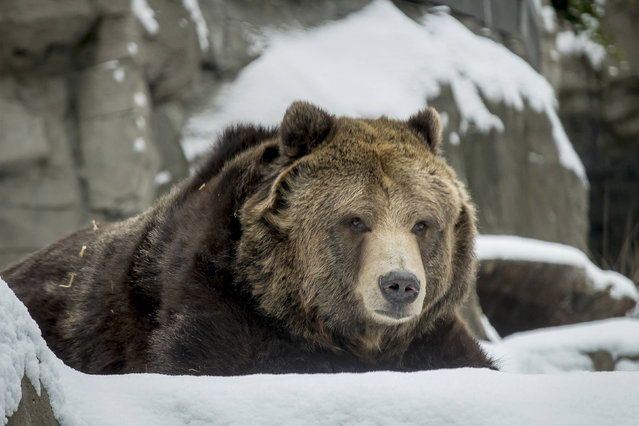 A rescued female grizzly bear lies in the snow in its new habitat at New York's Central Park Zoo January 9, 2015. The Central Park Zoo introduced to the public two new inhabitants on Friday, grizzly bears Betty and Veronica, who were rescued in 1995 by the Wildlife Conservation Society. (Photo by Brendan McDermid/Reuters)